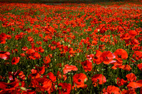 in praise of poppies