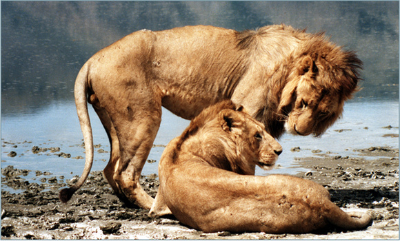 scarred lions